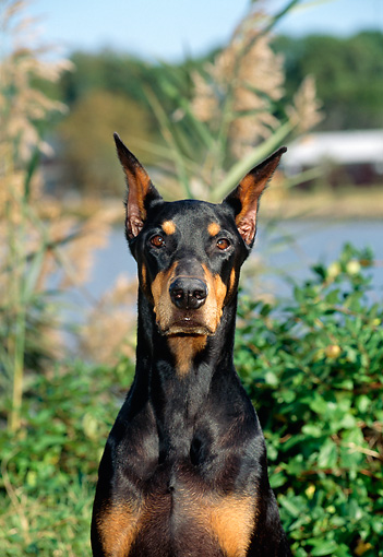 DOG 01 CE0176 01 © Kimball Stock Shoulder Shot Of Doberman Pinscher Sitting By Foliage By Lake