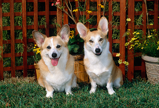 DOG 01 CE0185 01 © Kimball Stock Two Pembroke Welsh Corgis Sitting On Grass By Trellis And Yellow Flowers