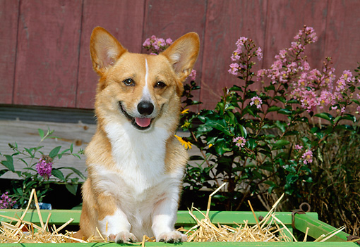 DOG 01 CE0187 01 © Kimball Stock Pembroke Welsh Corgi Standing In Cart By Flowers Barn