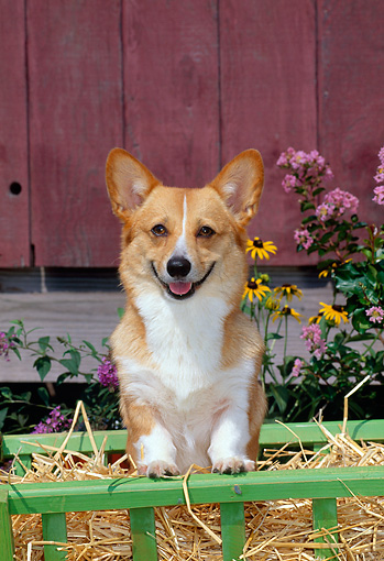 DOG 01 CE0188 01 © Kimball Stock Pembroke Welsh Corgi Standing In Cart By Flowers Barn