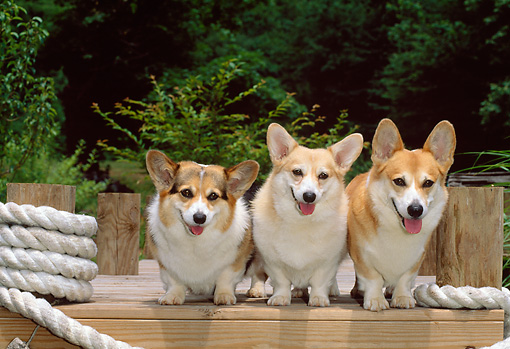 DOG 01 CE0191 01 © Kimball Stock Three Pembroke Welsh Corgis Standing At End Of Dock