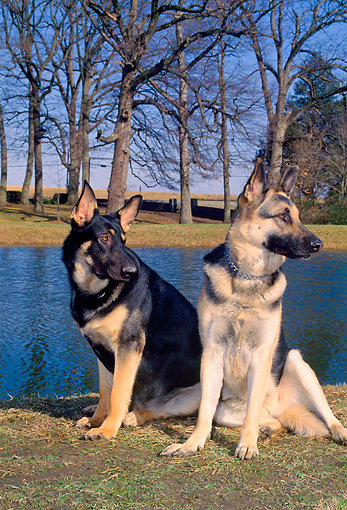 DOG 01 CE0194 01 © Kimball Stock German Shepherd Female And Male Sitting On Grass By Lake And Trees