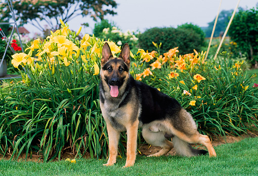 DOG 01 CE0196 01 © Kimball Stock German Shepherd Standing On Grass By Yellow Flowers