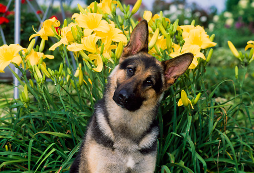DOG 01 CE0198 01 © Kimball Stock Shoulder Shot Of German Shepherd Sitting By Yellow Flowers