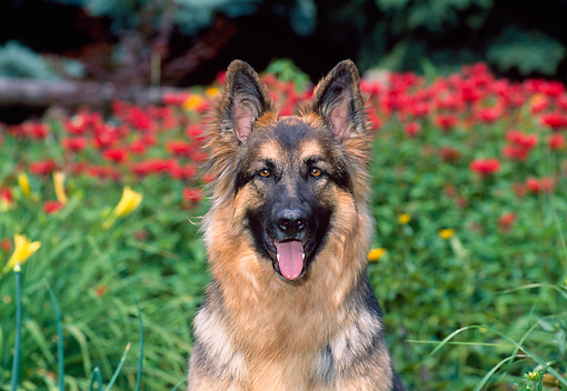 DOG 01 CE0200 01 © Kimball Stock Shoulder Shot Of German Shepherd Sitting By Red Flowers