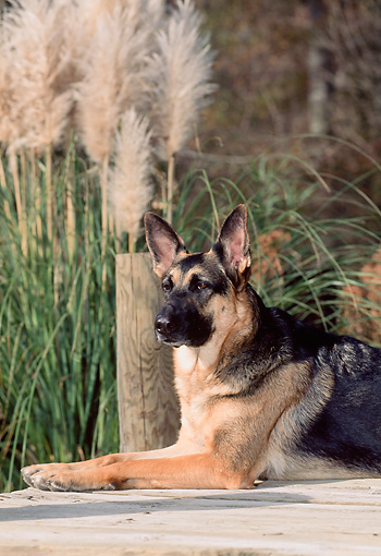 DOG 01 CE0202 01 © Kimball Stock Shoulder Shot Of German Shepherd Laying On Dock By Reeds