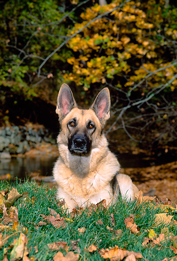 DOG 01 CE0204 01 © Kimball Stock German Shepherd Laying On Grass By Creek Autumn Trees