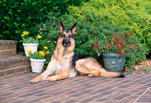 DOG 01 CE0207 01 © Kimball Stock German Shepherd Laying On Brick Patio By Flowers And Shrub