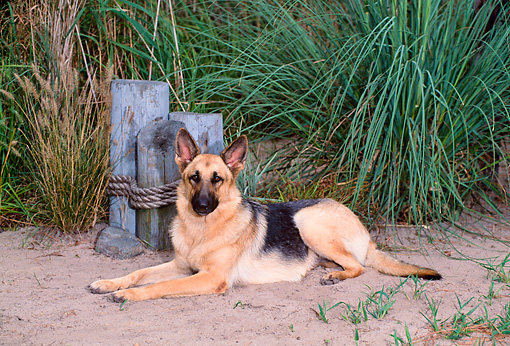 DOG 01 CE0208 01 © Kimball Stock German Shepherd Laying On Sand By Tall Grasses