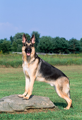 DOG 01 CE0210 01 © Kimball Stock German Shepherd Stepping On Rock In Field By Trees Blue Sky