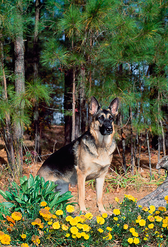 DOG 01 CE0214 01 © Kimball Stock German Shepherd Stepping On Log By Yellow Flowers Pine Trees
