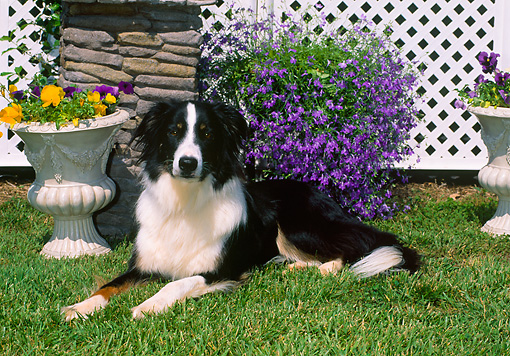 DOG 01 CE0217 01 © Kimball Stock English Shepherd Laying On Grass By Trellis And Potted Flowers