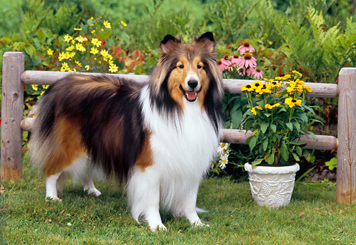 DOG 01 CE0218 01 © Kimball Stock Shetland Sheepdog Standing On Grass By Fence And Flowers