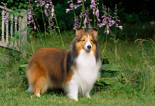 DOG 01 CE0219 01 © Kimball Stock Shetland Sheepdog Standing On Grass By Bridge And Flowers