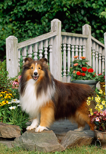 DOG 01 CE0220 01 © Kimball Stock Shetland Sheepdog Standing On Rock On Grass By Bridge And Flowers