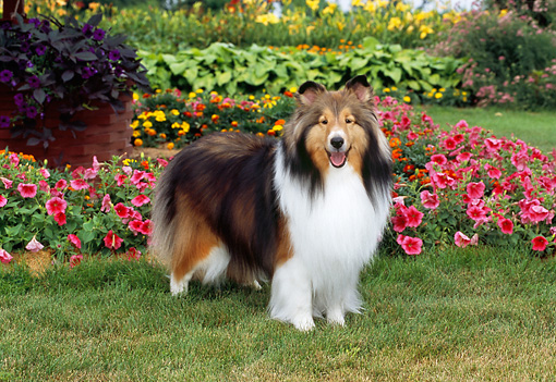 DOG 01 CE0221 01 © Kimball Stock Shetland Sheepdog Standing On Grass By Pink Flowers