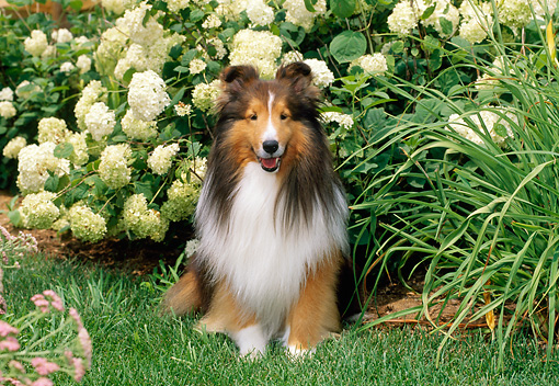 DOG 01 CE0222 01 © Kimball Stock Shetland Sheepdog Sitting On Grass By Flower Bushes