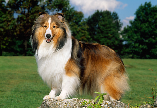 DOG 01 CE0223 01 © Kimball Stock Shetland Sheepdog Standing On Rock In Field