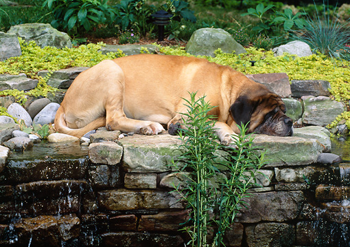 DOG 01 CE0224 01 © Kimball Stock Mastiff Sleeping On Stone Wall