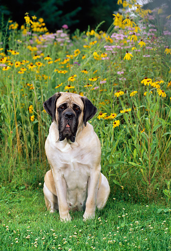 DOG 01 CE0225 01 © Kimball Stock Mastiff Sitting In Field By Wildflowers