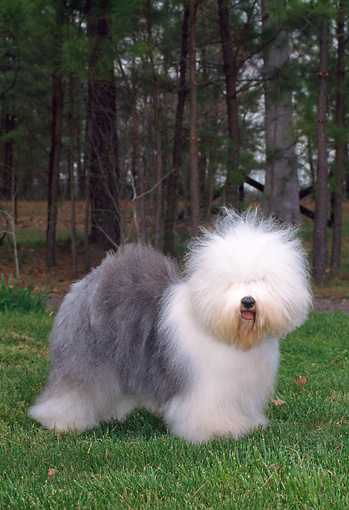 DOG 01 CE0229 01 © Kimball Stock Old English Sheepdog Standing On Grass By Woods