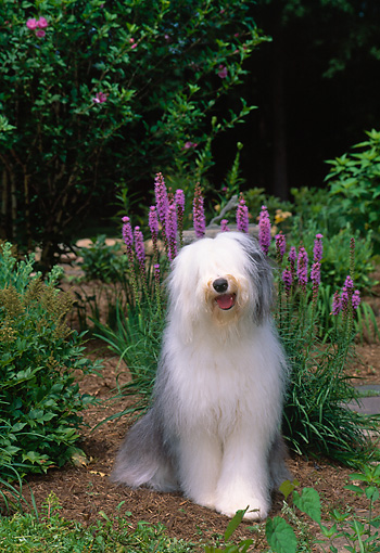 DOG 01 CE0230 01 © Kimball Stock Old English Sheepdog Sitting In Garden By Purple Flowers