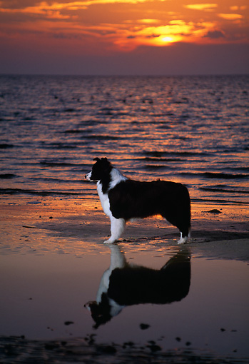 DOG 01 DC0149 02 © Kimball Stock Profile Portrait Of Border Collie On Wet Sand By Ocean At Sunset