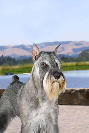 DOG 01 DC0195 01 © Kimball Stock Portrait Of Standard Schnauzer Standing On Patio By Water Mountains Blue Sky