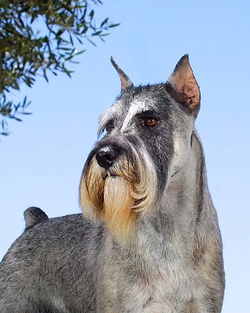 DOG 01 DC0196 01 © Kimball Stock Portrait Of Standard Schnauzer Standing Blue Sky