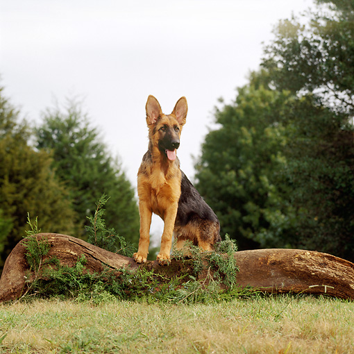 DOG 01 DC0246 01 © Kimball Stock Young German Shepherd Stepping On Log By Trees