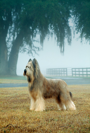 DOG 01 DC0266 02 © Kimball Stock Portrait Of Briard Standing On Grass In Fog