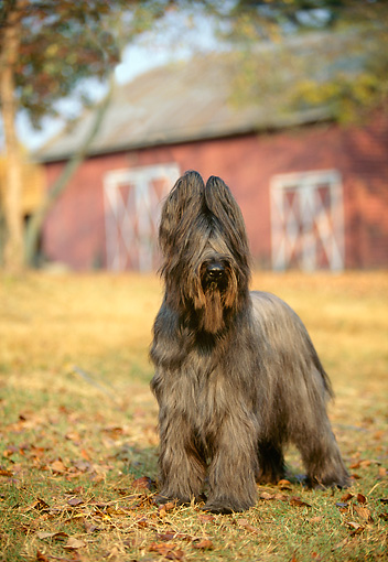 DOG 01 DC0269 01 © Kimball Stock Portrait Of Briard Standing By Barn