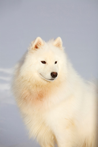 DOG 01 DC0273 01 © Kimball Stock Samoyed Sitting On Snow On Leash