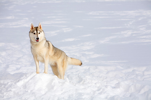 DOG 01 DC0275 01 © Kimball Stock Siberian Husky Standing On Snow With Leash