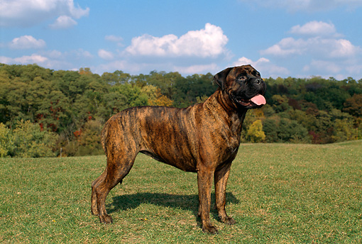 DOG 01 FA0001 01 © Kimball Stock Bullmastiff Standing In Field By Trees