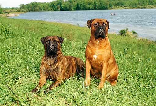 DOG 01 FA0002 02 © Kimball Stock Two Bullmastiffs Sitting On Grass By Lake