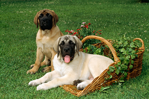 DOG 01 FA0003 01 © Kimball Stock Two Mastiffs Sitting On Grass By Basket