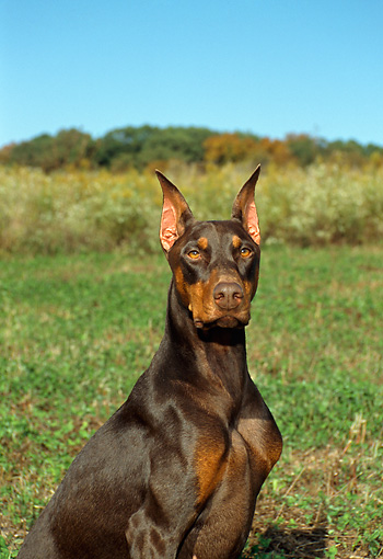 DOG 01 FA0008 01 © Kimball Stock Close-Up Of Doberman Pinscher Sitting In Field Blue Sky