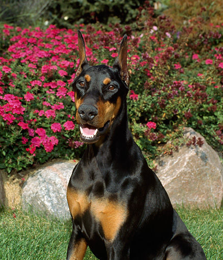 DOG 01 FA0009 01 © Kimball Stock Close-Up Of Doberman Pinscher Sitting By Flowers