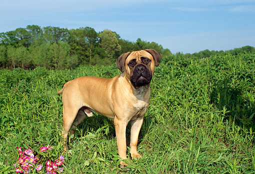 DOG 01 FA0016 01 © Kimball Stock Bullmastiff Standing In Field By Trees