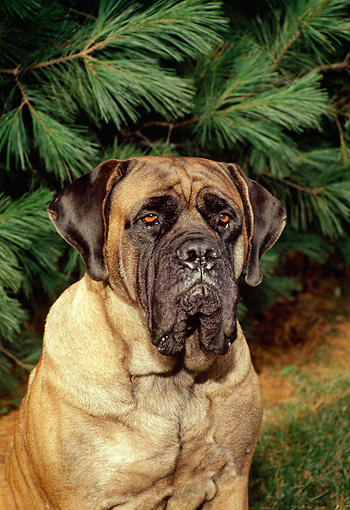 DOG 01 FA0018 01 © Kimball Stock Shoulder Shot Of Mastiff Sitting By Tree