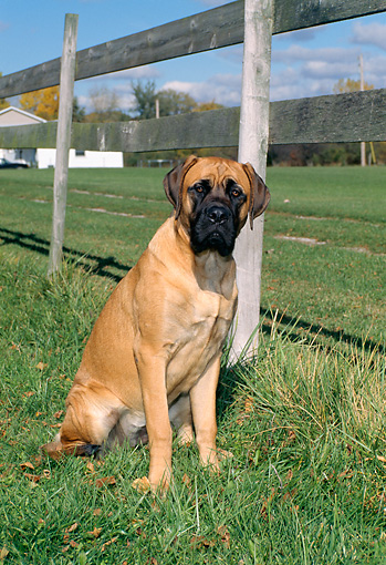 DOG 01 FA0021 01 © Kimball Stock Mastiff Sitting On Grass By Fence Buildings Blue Sky