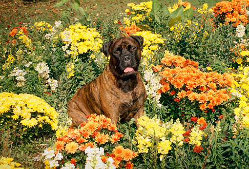 DOG 01 FA0022 01 © Kimball Stock Bullmastiff Sitting In Flower Garden