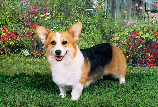DOG 01 FA0024 01 © Kimball Stock Pembroke Welsh Corgi Standing On Grass By Flowers