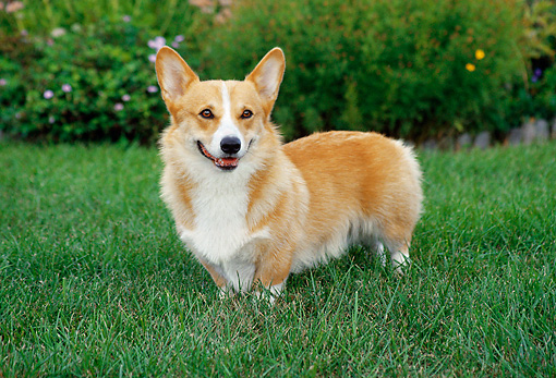 DOG 01 FA0025 01 © Kimball Stock Pembroke Welsh Corgi Standing On Grass By Flowers