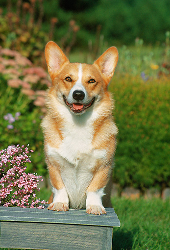 DOG 01 FA0026 01 © Kimball Stock Pembroke Welsh Corgi Stepping On Bench By Flowers