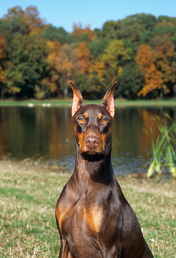 DOG 01 FA0033 01 © Kimball Stock Shoulder Shot Of Doberman Pinscher Sitting By Lake And Autumn Trees