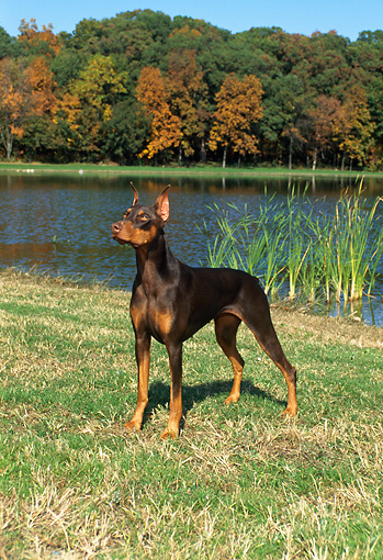 DOG 01 FA0034 01 © Kimball Stock Doberman Pinscher Standing By Lake And Autumn Trees