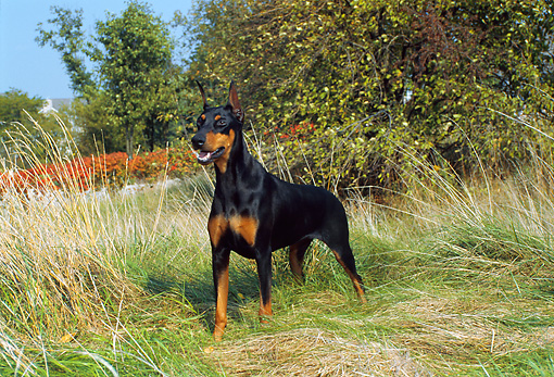 DOG 01 FA0035 01 © Kimball Stock Doberman Pinscher Standing In Tall Grass By Shrubs And Trees