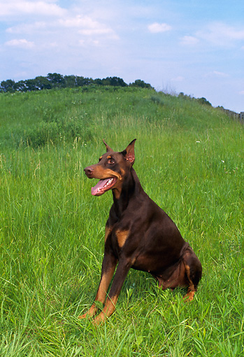 DOG 01 FA0036 01 © Kimball Stock Doberman Pinscher Sitting In Grass On Hill Blue Sky